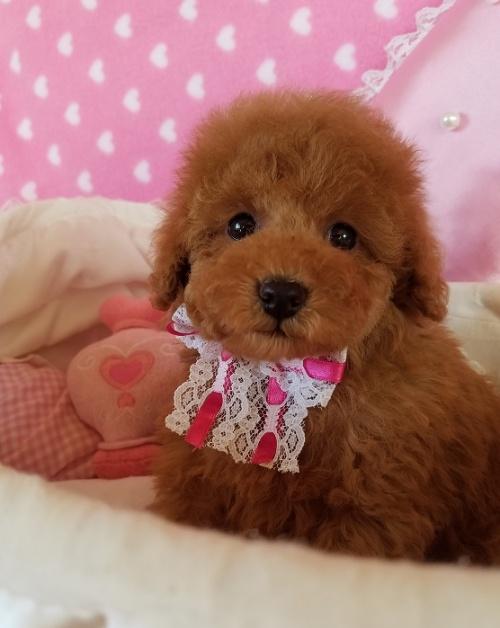 トイプードルの子犬(ID:1241511098)の3枚目の写真/更新日:2018-11-11