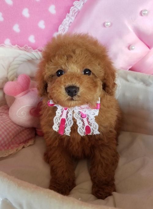 トイプードルの子犬(ID:1241511098)の4枚目の写真/更新日:2018-11-11