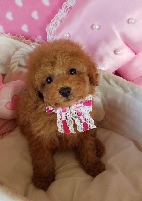 トイプードルの子犬(ID:1241511098)の5枚目の写真/更新日:2018-11-11