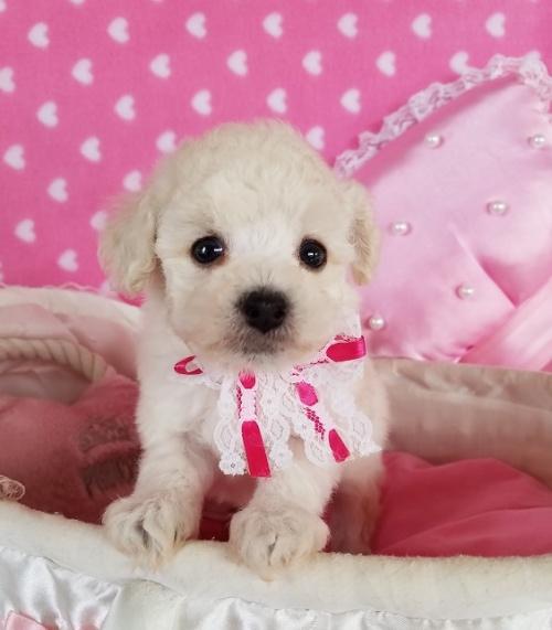 トイプードルの子犬(ID:1241511099)の1枚目の写真/更新日:2018-12-11