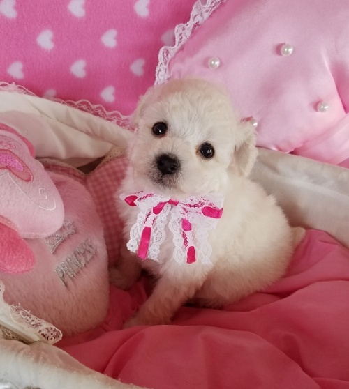 トイプードルの子犬(ID:1241511099)の3枚目の写真/更新日:2018-12-11