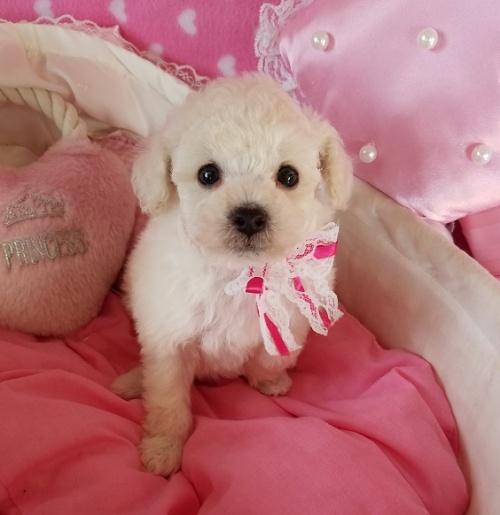 トイプードルの子犬(ID:1241511099)の4枚目の写真/更新日:2018-12-11