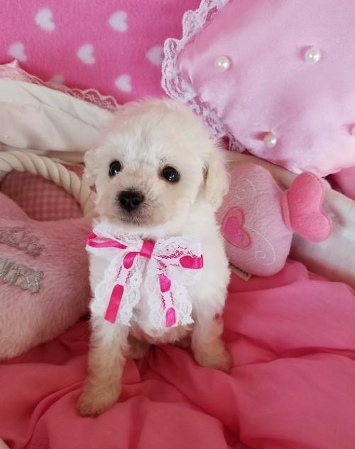 トイプードルの子犬(ID:1241511100)の3枚目の写真/更新日:2018-12-11