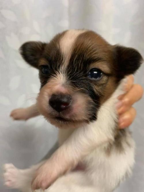 パピヨンの子犬(ID:1241711007)の1枚目の写真/更新日:2017-03-07
