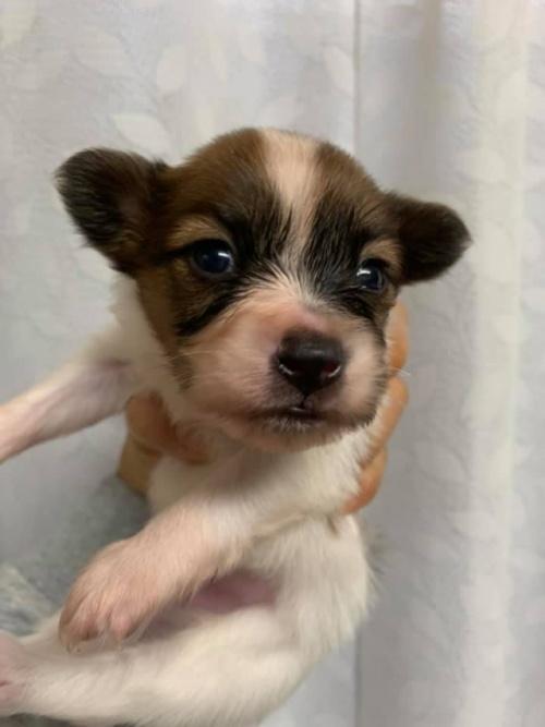 パピヨンの子犬(ID:1241711007)の2枚目の写真/更新日:2017-03-07