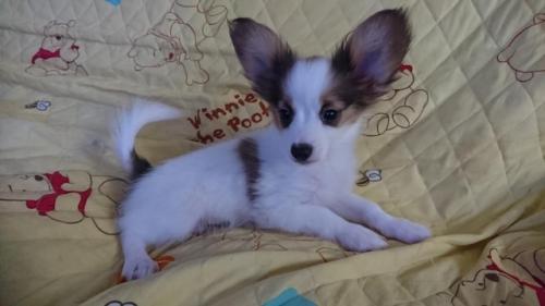 パピヨンの子犬(ID:1241711008)の2枚目の写真/更新日:2017-03-07