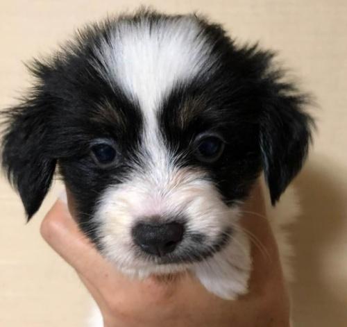 パピヨンの子犬(ID:1241711009)の1枚目の写真/更新日:2017-07-17