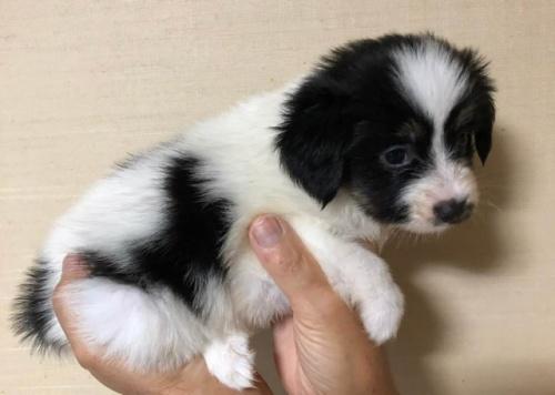 パピヨンの子犬(ID:1241711009)の2枚目の写真/更新日:2017-07-11
