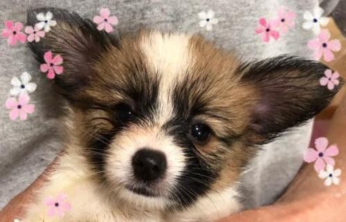 パピヨンの子犬(ID:1241711011)の1枚目の写真/更新日:2017-09-16
