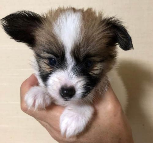 パピヨンの子犬(ID:1241711011)の2枚目の写真/更新日:2017-09-16
