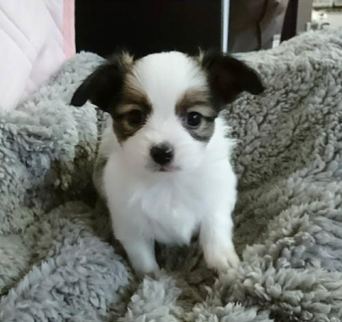 パピヨンの子犬(ID:1241711013)の1枚目の写真/更新日:2017-11-08