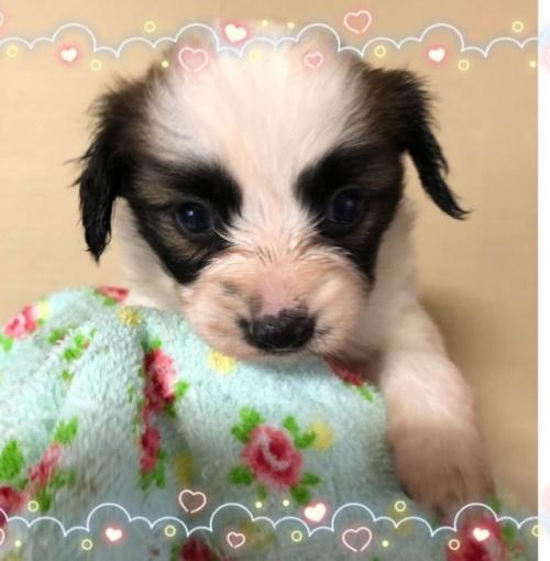 パピヨンの子犬(ID:1241711014)の1枚目の写真/更新日:2018-03-05
