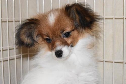 パピヨンの子犬(ID:1241711017)の1枚目の写真/更新日:2018-06-12