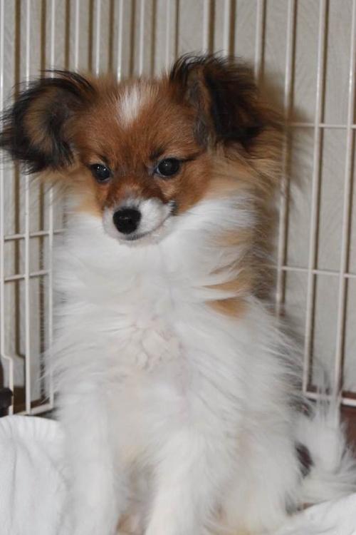 パピヨンの子犬(ID:1241711017)の2枚目の写真/更新日:2018-06-12