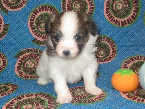 パピヨンの子犬(ID:1241911004)の1枚目の写真/更新日:2017-03-16