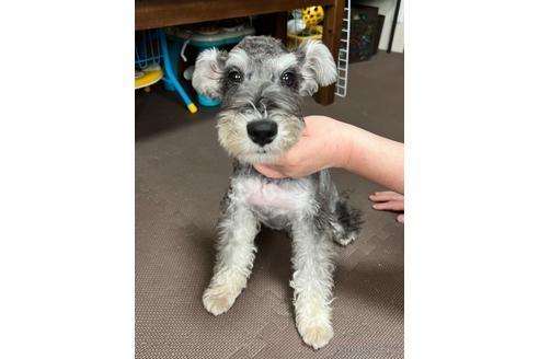 ミニチュアシュナウザーの子犬(ID:1242011071)の1枚目の写真/更新日:2019-02-24