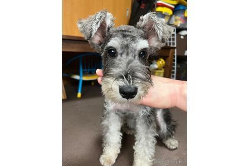 ミニチュアシュナウザーの子犬(ID:1242011071)の2枚目の写真/更新日:2019-02-24
