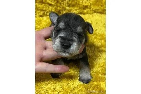 ミニチュアシュナウザーの子犬(ID:1242011083)の1枚目の写真/更新日:2021-02-16
