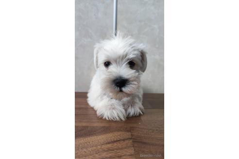 ミニチュアシュナウザーの子犬(ID:1242011084)の1枚目の写真/更新日:2021-04-09