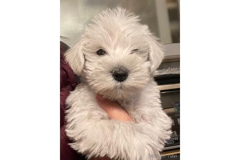 ミニチュアシュナウザーの子犬(ID:1242011088)の1枚目の写真/更新日:2021-02-16