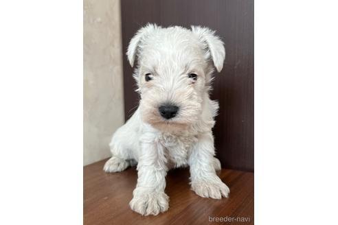 ミニチュアシュナウザーの子犬(ID:1242011088)の2枚目の写真/更新日:2021-02-16