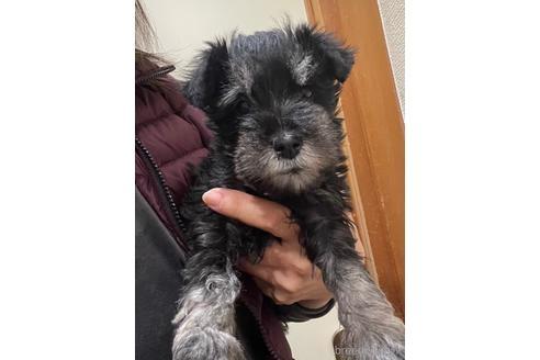 ミニチュアシュナウザーの子犬(ID:1242011089)の1枚目の写真/更新日:2021-02-16