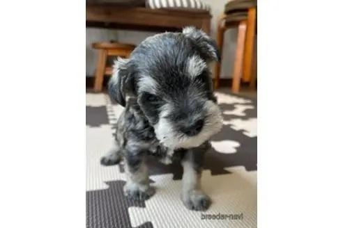 ミニチュアシュナウザーの子犬(ID:1242011090)の1枚目の写真/更新日:2020-03-17
