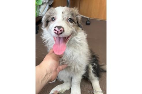 ボーダーコリーの子犬(ID:1242011105)の1枚目の写真/更新日:2020-03-30
