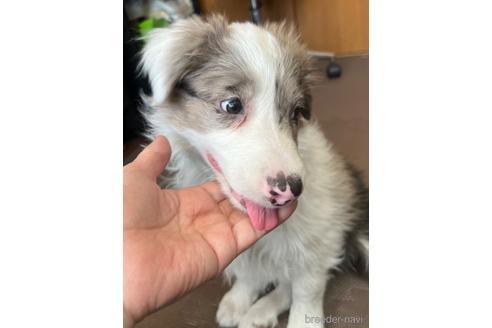 ボーダーコリーの子犬(ID:1242011105)の2枚目の写真/更新日:2020-03-30