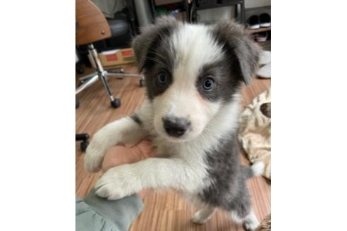 ボーダーコリーの子犬(ID:1242011106)の1枚目の写真/更新日:2019-10-08