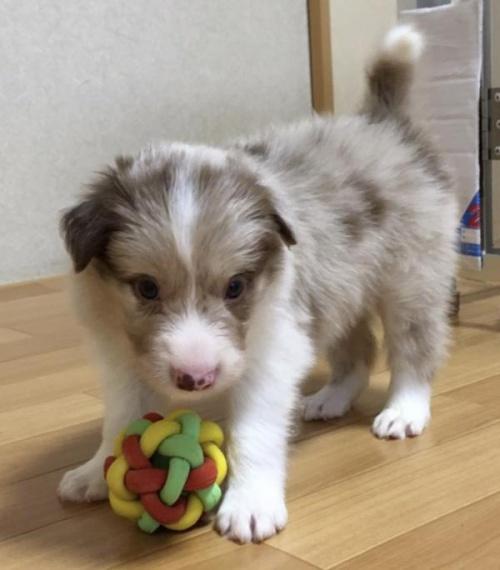 ボーダーコリーの子犬(ID:1242011109)の2枚目の写真/更新日:2018-07-23