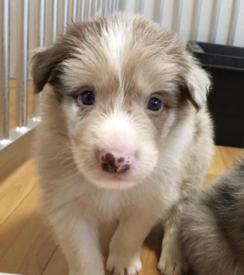ボーダーコリーの子犬(ID:1242011109)の3枚目の写真/更新日:2018-07-23