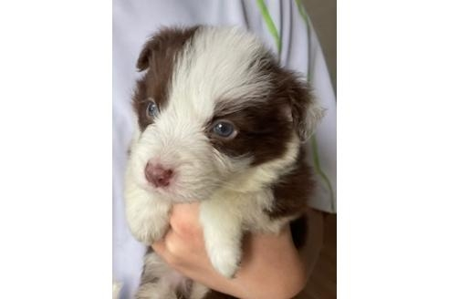 ボーダーコリーの子犬(ID:1242011110)の1枚目の写真/更新日:2018-07-23