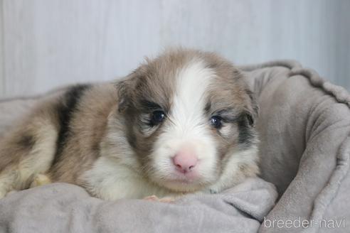 ボーダーコリーの子犬(ID:1242011115)の1枚目の写真/更新日:2019-04-15