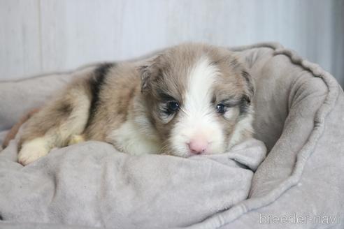 ボーダーコリーの子犬(ID:1242011115)の2枚目の写真/更新日:2019-04-15