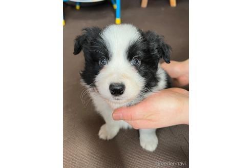 ボーダーコリーの子犬(ID:1242011118)の1枚目の写真/更新日:2021-04-26
