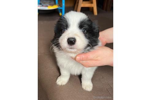 ボーダーコリーの子犬(ID:1242011118)の2枚目の写真/更新日:2021-04-26