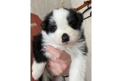 ボーダーコリーの子犬(ID:1242011120)の2枚目の写真/更新日:2021-04-01