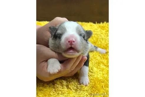 ボーダーコリーの子犬(ID:1242011121)の1枚目の写真/更新日:2019-04-15