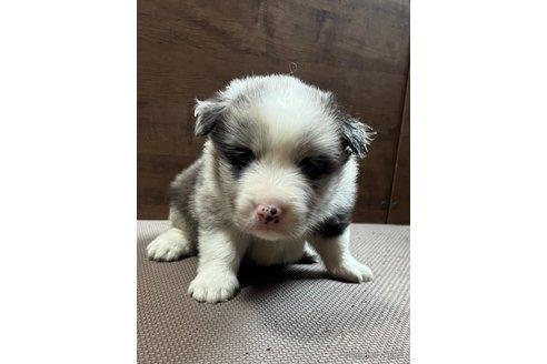 ボーダーコリーの子犬(ID:1242011121)の2枚目の写真/更新日:2019-04-15