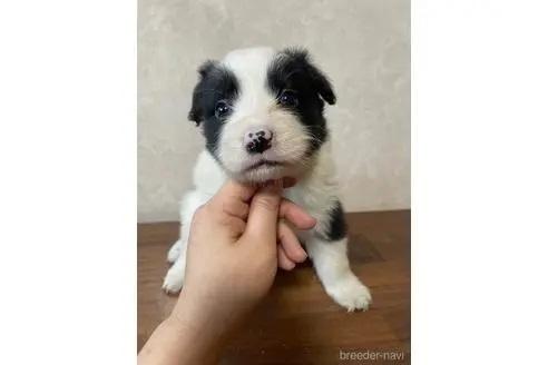 ボーダーコリーの子犬(ID:1242011122)の1枚目の写真/更新日:2021-09-20