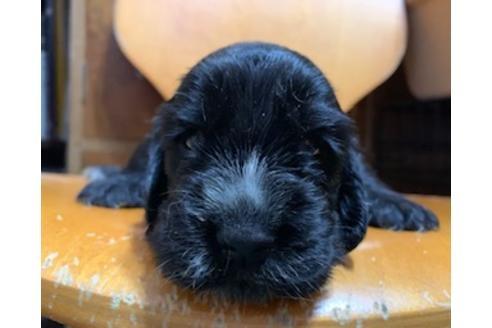 イングリッシュコッカースパニエルの子犬(ID:1242011123)の1枚目の写真/更新日:2018-09-01