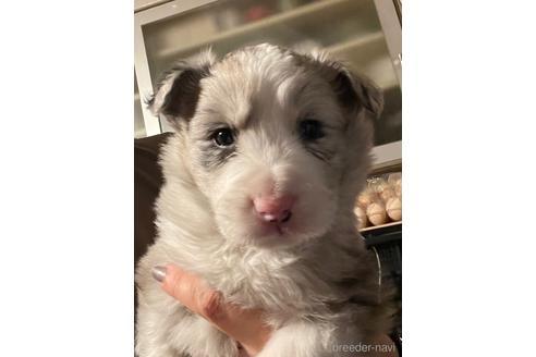 ボーダーコリーの子犬(ID:1242011127)の1枚目の写真/更新日:2017-01-27
