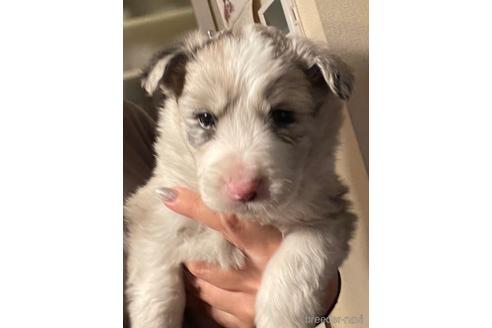 ボーダーコリーの子犬(ID:1242011127)の2枚目の写真/更新日:2021-06-17