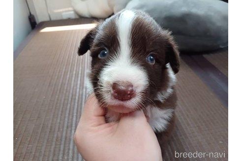ボーダーコリーの子犬(ID:1242011129)の1枚目の写真/更新日:2017-01-27