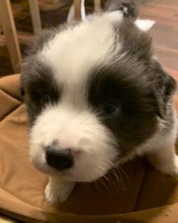 ボーダーコリーの子犬(ID:1242011130)の1枚目の写真/更新日:2017-01-27