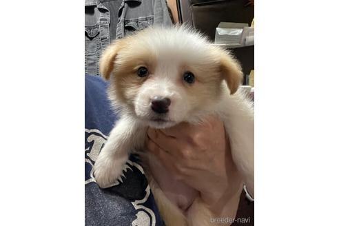 ボーダーコリーの子犬(ID:1242011131)の2枚目の写真/更新日:2017-01-27