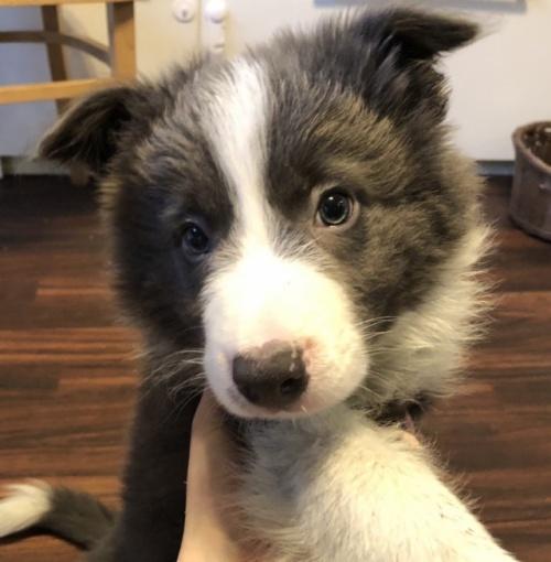 ボーダーコリーの子犬(ID:1242011132)の2枚目の写真/更新日:2017-01-27