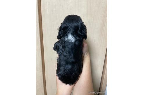 イングリッシュコッカースパニエルの子犬(ID:1242011133)の2枚目の写真/更新日:2018-09-01