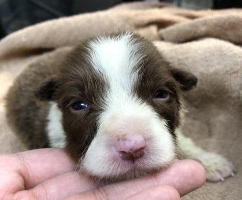 ボーダーコリーの子犬(ID:1242011134)の1枚目の写真/更新日:2017-03-01